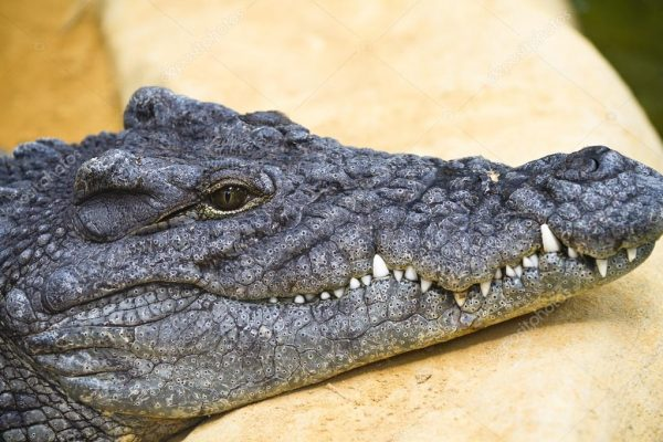 depositphotos_11304184-stock-photo-dangerous-alligator-with-closed-mouth